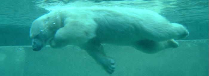 Urso Polar - Toronto Zôo - 8 Jan, 2003