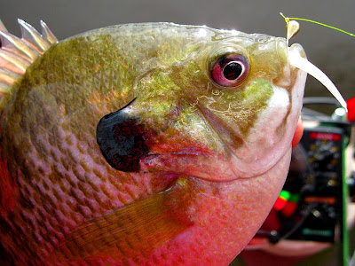 prettyneat+bluegill.jpg