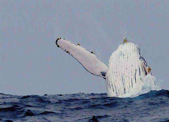 Breaching Humpback Whale Ecuador