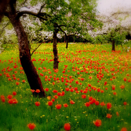 The tulip orchard
