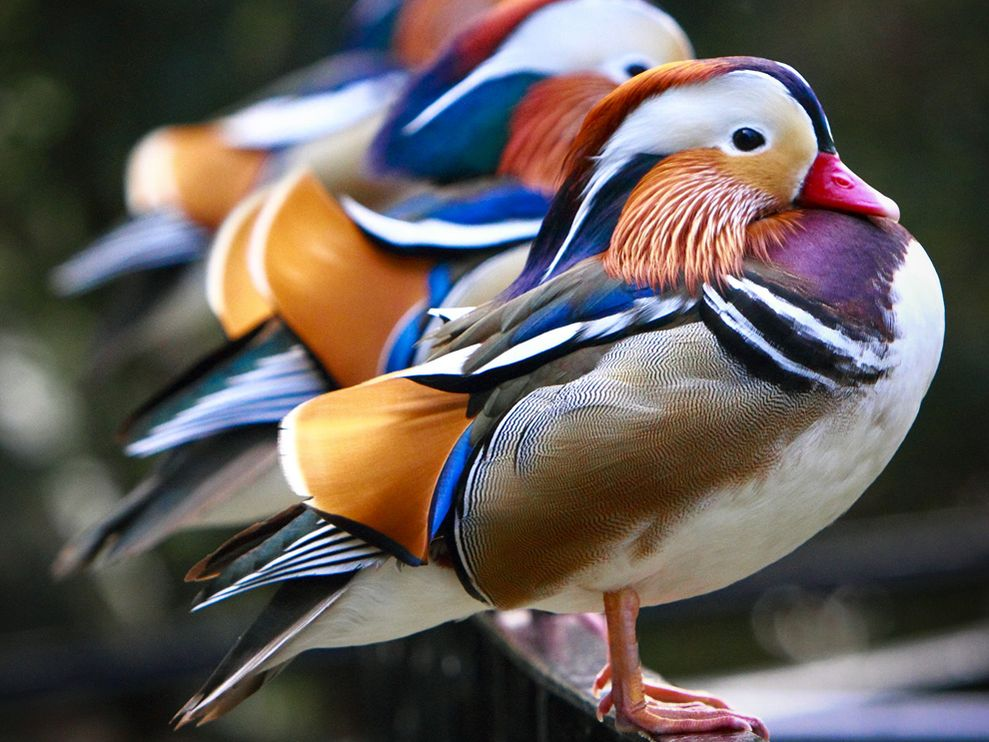 Mandarin Ducks