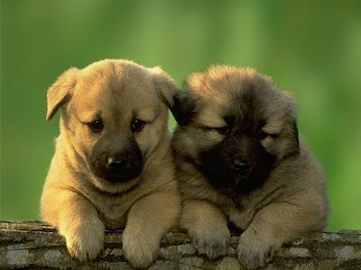 cute dog pictures, cute twin brown dogs