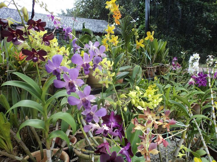 Rumah orkid : orkid sedang berbunga