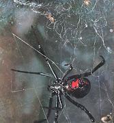 A ViúvaNegra é uma espécie de Aracnídeo venenosa , distribuída por toda a .