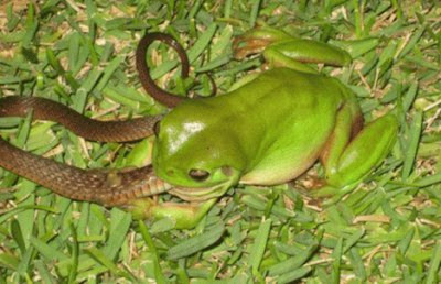 Amazing and Unbelievable. Frog Eating a Snake. This a Real Phenomenon in China and Australia