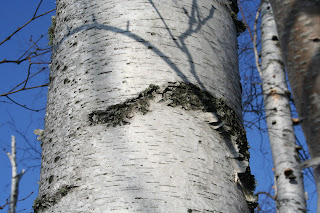 Thunderbird marking on Birch tree