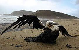 Gulf Bird Dying