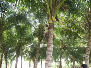 tender coconut - straight from the tree