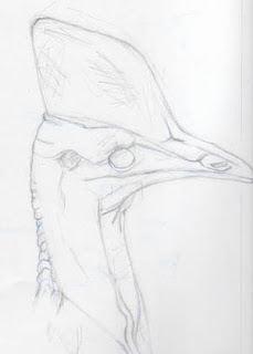 Cassowary Sketch by Jennifer Phillip