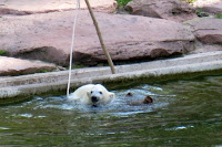 Flocke the polar bear swimming at Nuremberg zoo