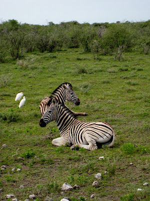 Zebras an egrets in Etosha National Park in Namibia