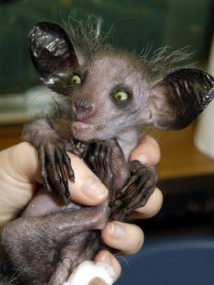 Chupacabras de Borneo 051210_13-animal-raro_0___306x408