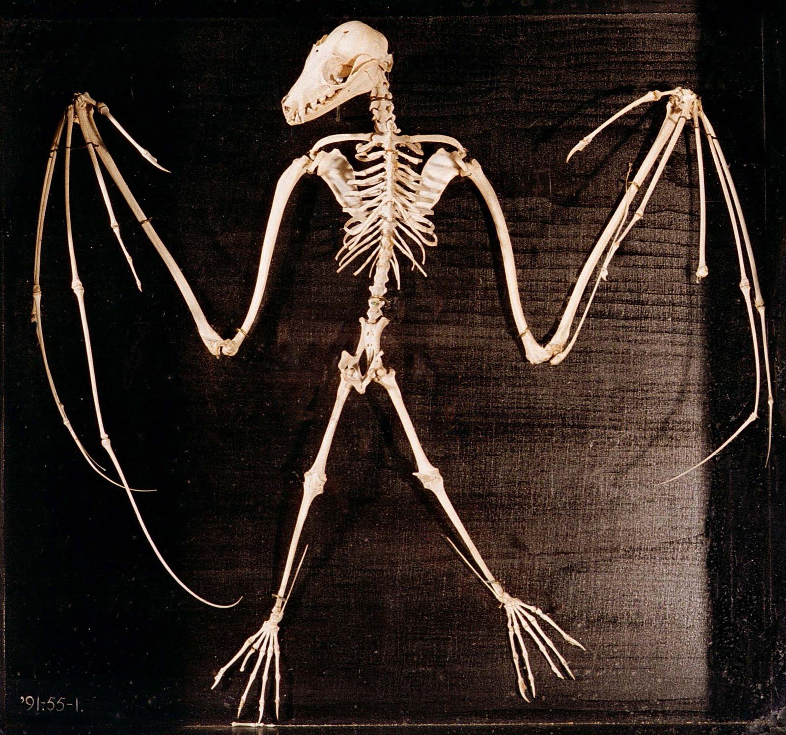 Bat wing skeleton - photo#28