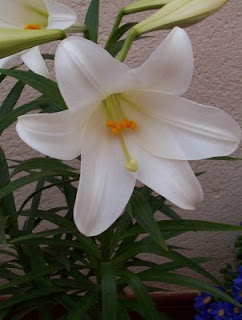 http://3.bp.blogspot.com/_bjoRBP1KdZA/SKBEwWmLNlI/AAAAAAAAB6Q/LIFX7n8AQWA/s320/azucenas.jpg
