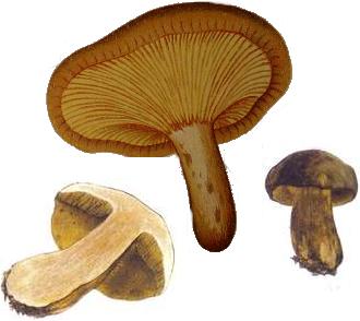 Paxilo enrollado, Paxillus involutus
