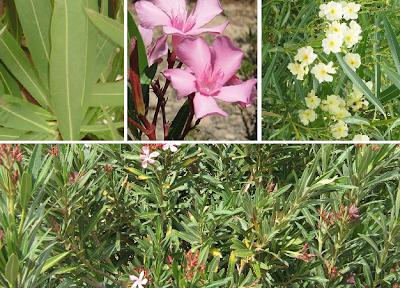 Adelfa, Laurel rosa, Balandre