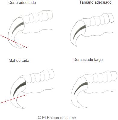 Cómo cortar las uñas en periquitos