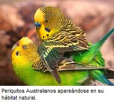 la cria periquitos, periquitos papilleros, criar periquitos, periquitos australianos cria, periquitos huevos