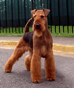 raza Airedale Terrier, perro Airedale Terrier, Airedale Terrier, cuidados Airedale Terrier, mascota Airedale Terrier