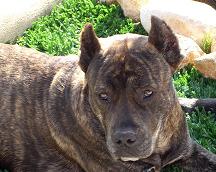 raza Alano Español, perro Alano Español, Alano Español, cuidados Alano Español, mascota Alano Español