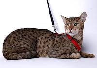 ashera leopard cats asherah sick kitten