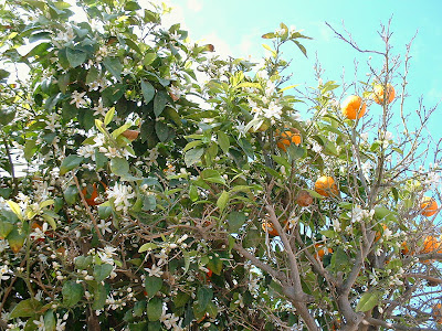 Orange Tree, Agia Napa