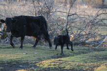 Lady Bell and bull calf