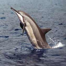 delfin moteado