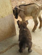 Yogi Fights Goats