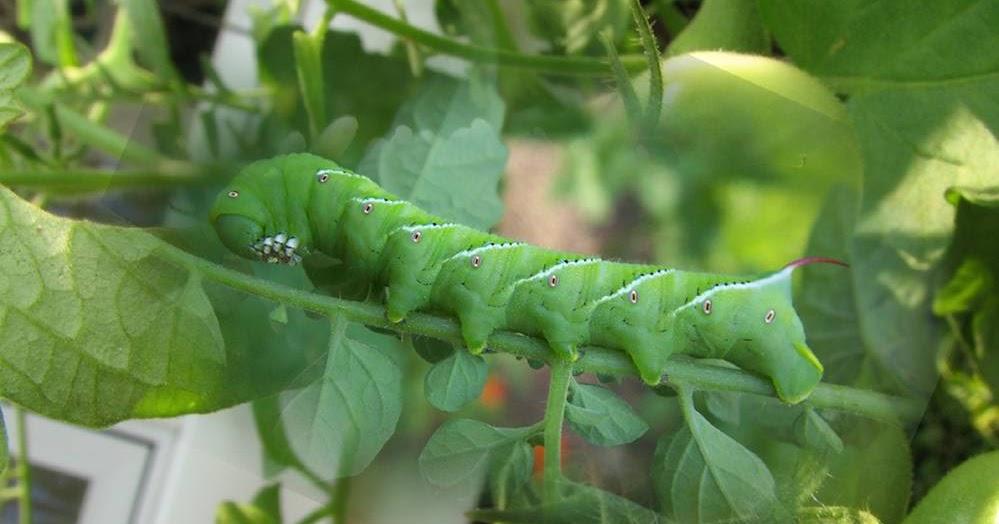 Pollinators: Bugs in the Garden. Hornworm: Friend or Foe ...