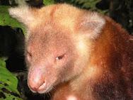 Kangguru Emas Mantel Pohon