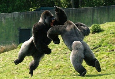 monkeys fight