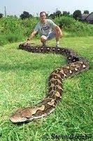 Foto ular sawah terbesar di dunia 96