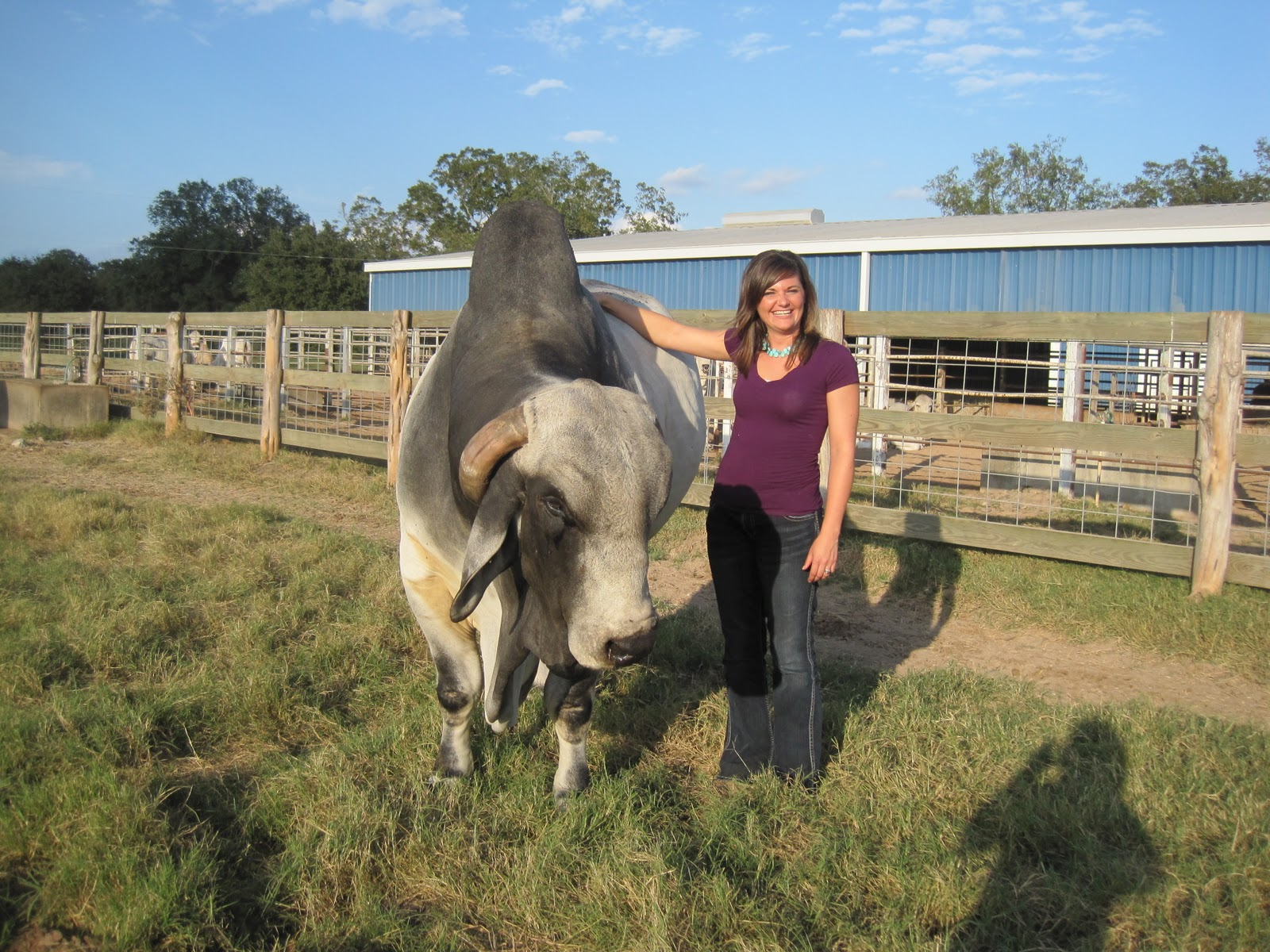 Biggest Brahman Bull