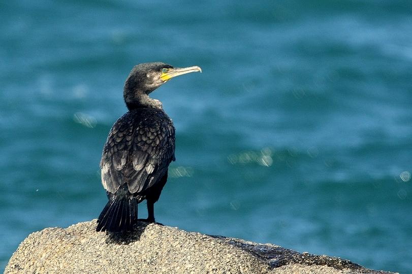 Grand cormoran.