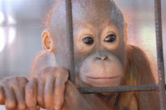 Orphaned by loggers or palm oil companies - often the same thing.