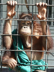 Yet another victim of logging and/or palm oil.