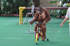Abuse and humiliation of orangutans stopped?