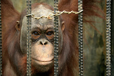 Guilty of being an orangutan