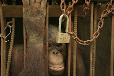 Indonesia&#39;s Alcatraz for orangutans