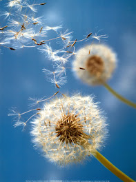 The Dandelions