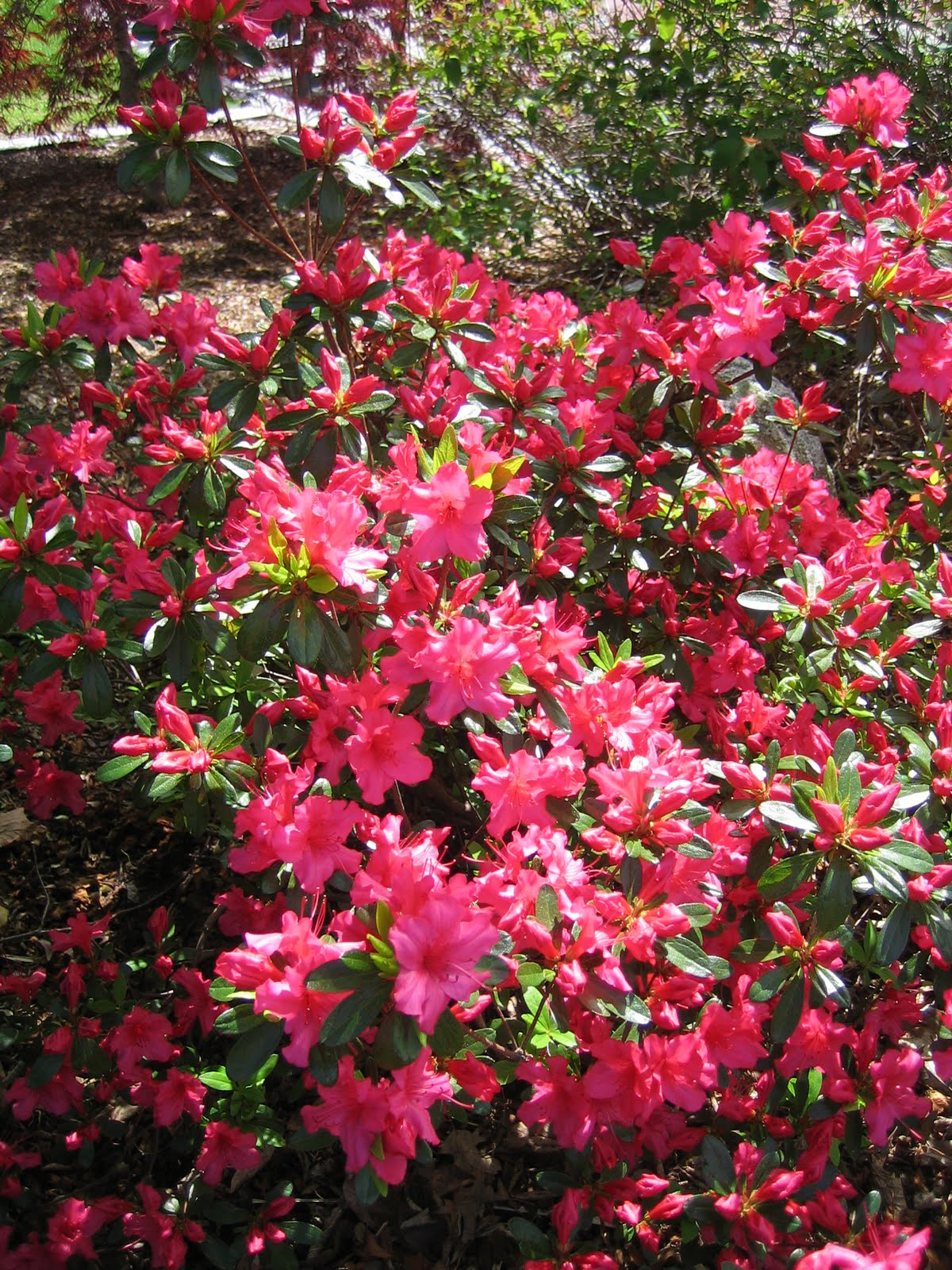 rhododendron mature singles The leaves of this handsome asian evergreen shrub are resistant to leaf spot they are gray-green when they first open, and later mature to a dark green or blue-green color.