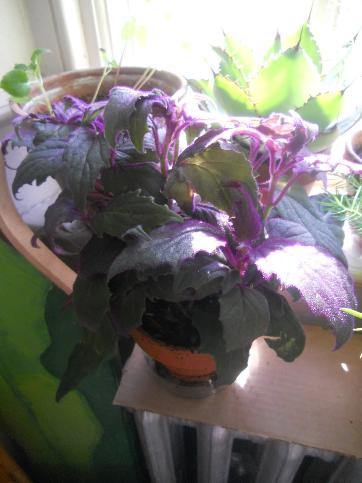 Purple house plants purple velvet plant gynura