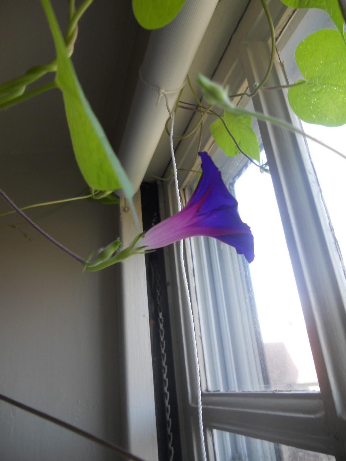 Journeys and Jonquils: First Morning Glory Flower