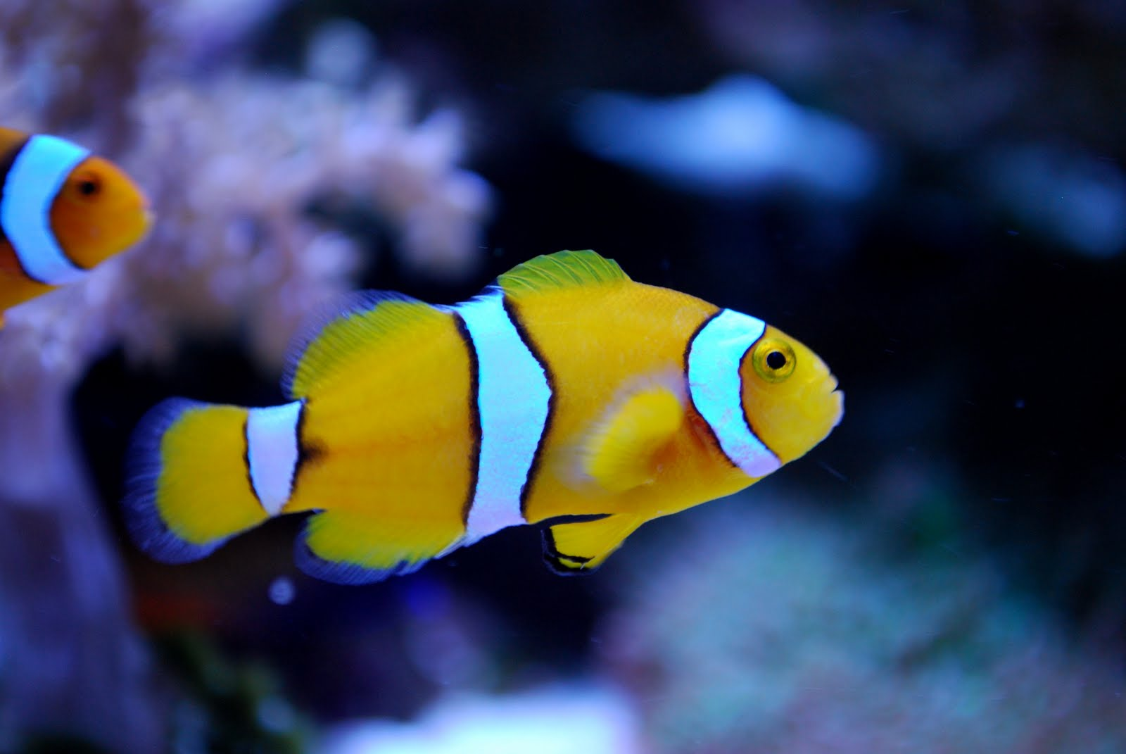 The best things in life are free november 2009 for Clown fish facts