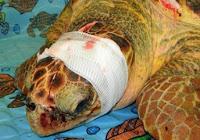 amaenaza de tortugas para su supervivencia