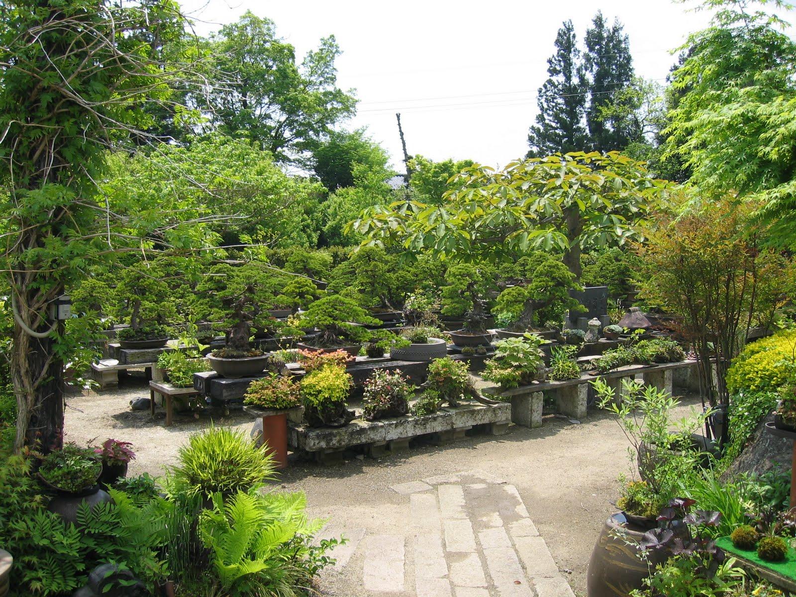 matsu bonsai jardin de ma tre kenichi abe. Black Bedroom Furniture Sets. Home Design Ideas