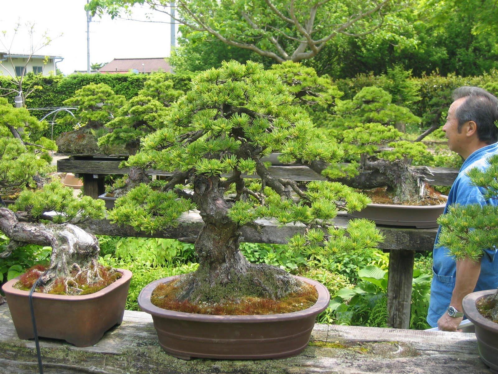 Matsu bonsai jardin de ma tre kenichi abe for Bonsai de jardin