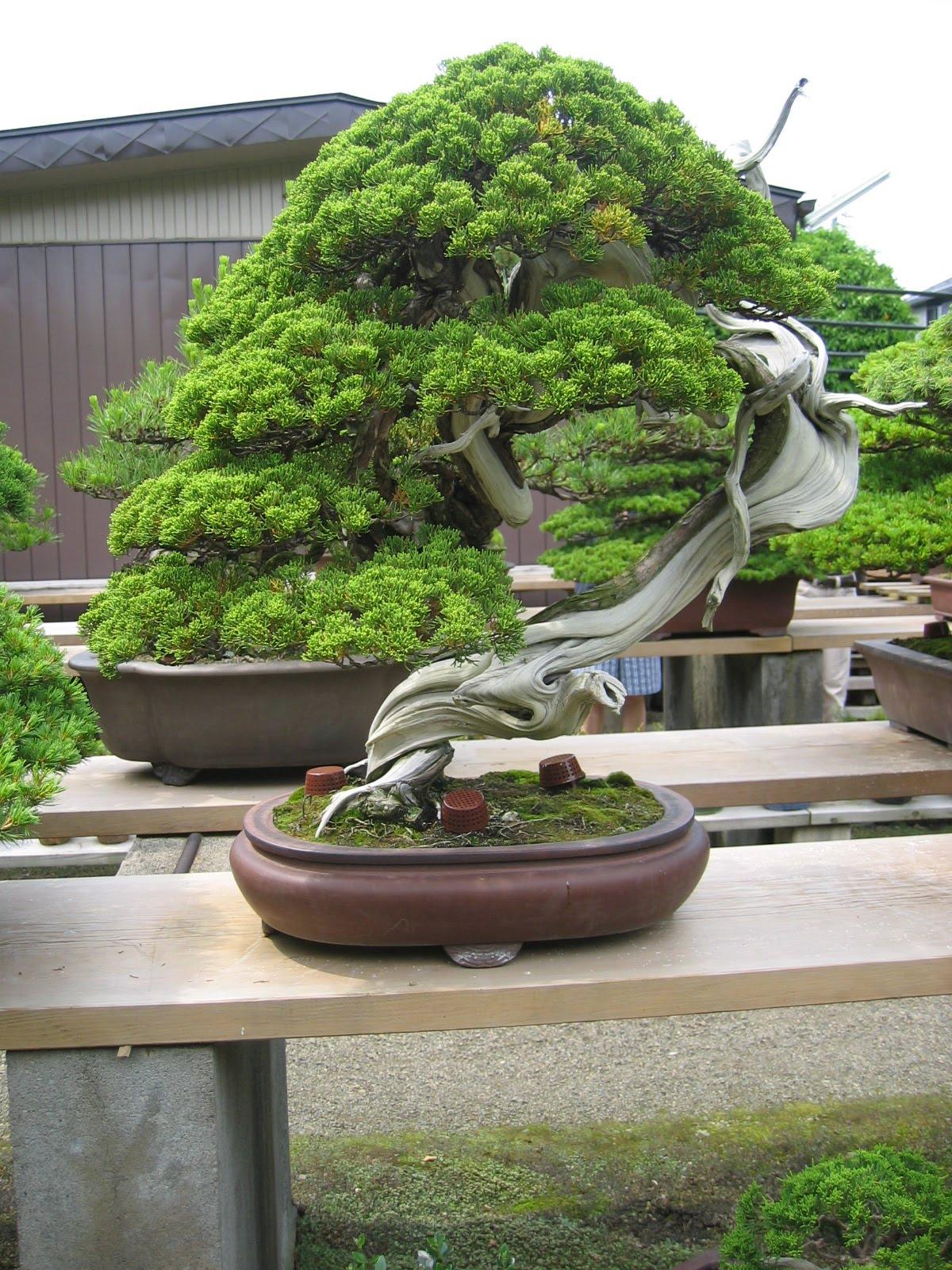 Matsu bonsai jardin de ma tre masahiko kimura for Bonsai de jardin