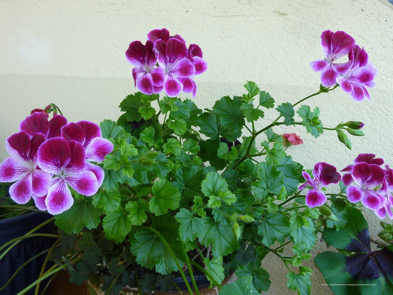 Mi espacio verde pelargonium - Geranio de pensamiento ...